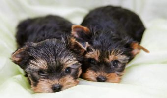 Yorkshire Terriers Dog Names